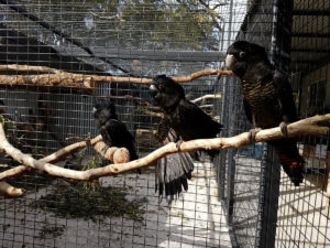 Fledgling red-tails in the clinic creche aviary. Credit: Kaarakin