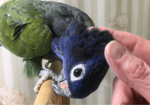 Proper way to rub a parrot's head: against the feathers.
