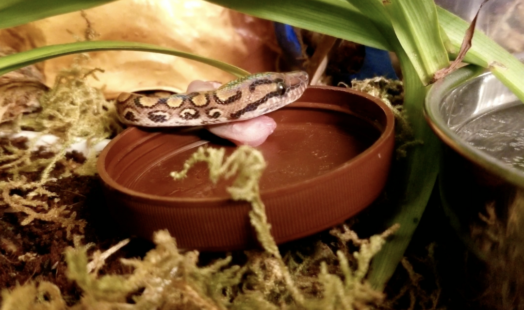 Puzzle Feeding for Snakes