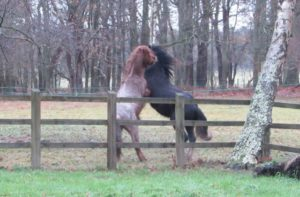 Well-matched young horses playing
