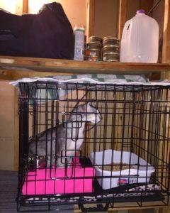 Crate practice for cats in emergencies