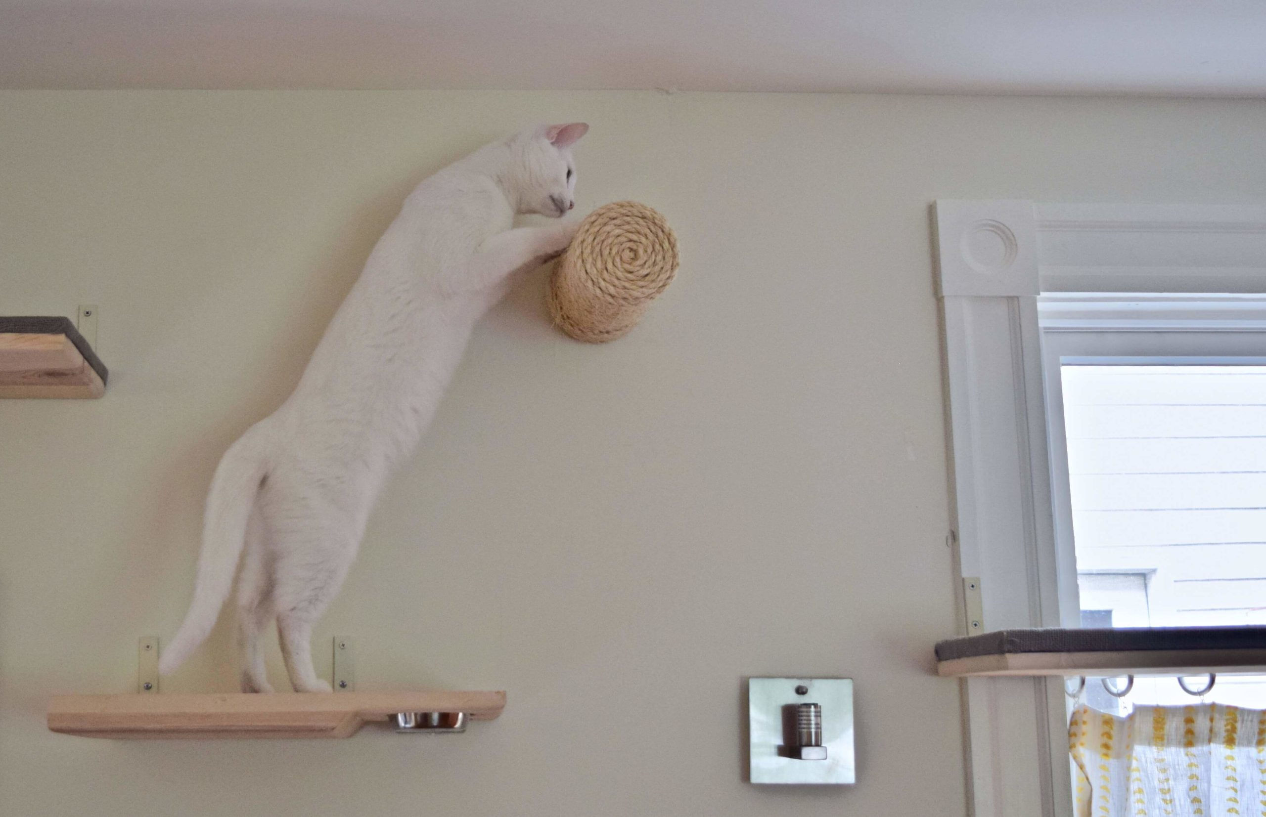Lacey balancing on a horizontal scratching post