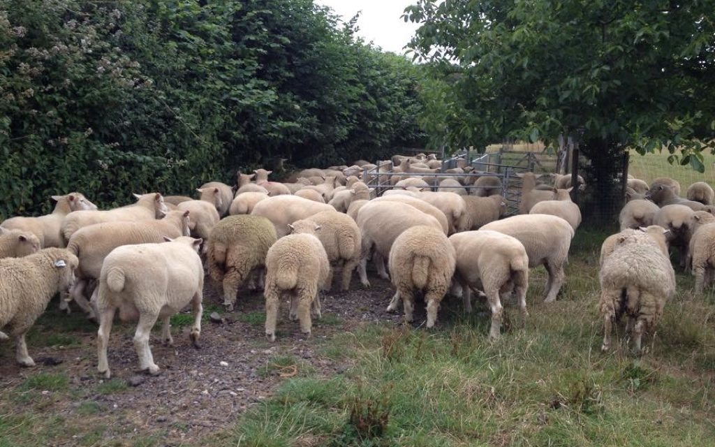 What Dog Behavior Doesn't Teach You About Sheep