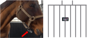 A diagram to show the Polar Wrist watch attached to the horse's head collar to ensure a good connection for the HR and HRV data (left) and show the location of the iPhones whilst fitted onto the bars of the partitions in the horse walker (right).