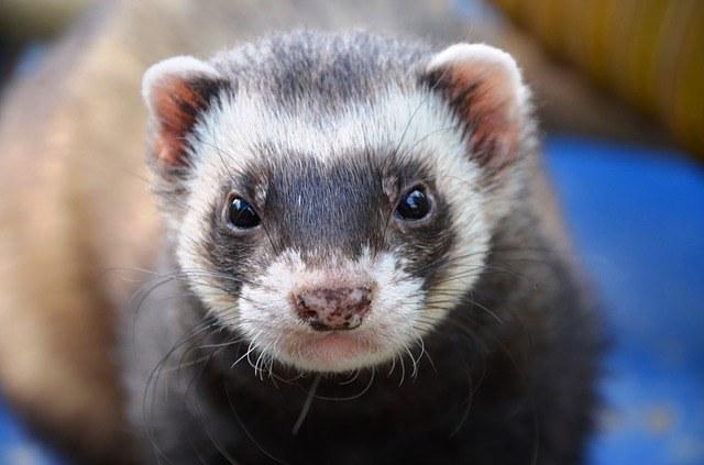 Species-Appropriate Enrichment for Ferrets