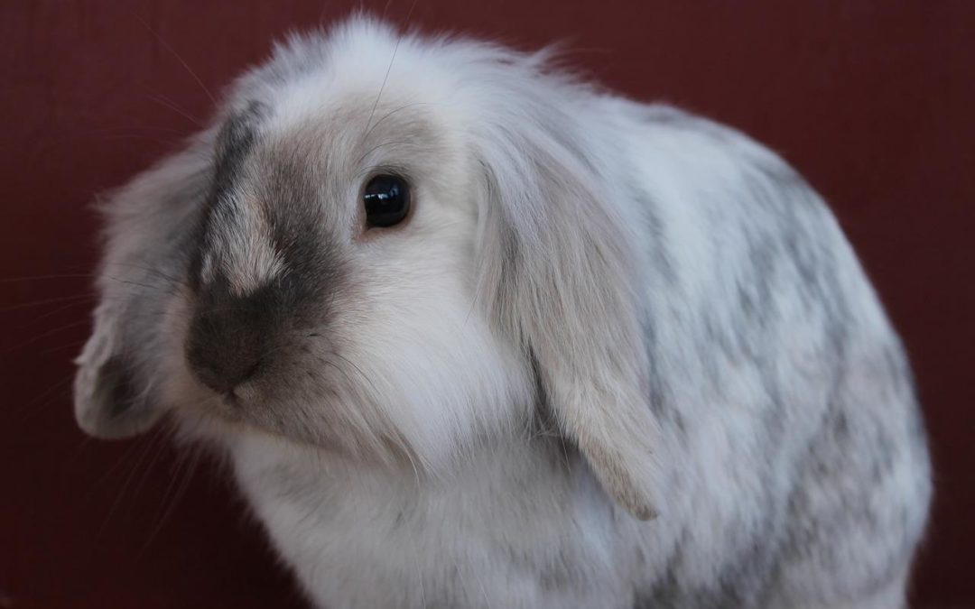 Pet Rabbits: Further Research Warranted on Behavior and Husbandry