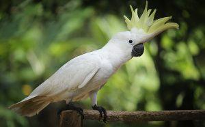 Rehabilitating an Umbrella Cockatoo