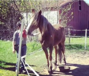 The chestnut mare is Sistine, a BLM mustang kill pen rescue, who targets while the trainer strokes her shoulder. Courtesy of Jennifer Digate.