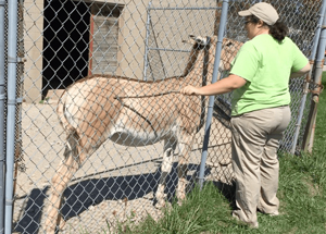 The Persian onager is doing a side present at the mesh fence. He has learned to target his nose on a plastic lid. When he is positioned close to the mesh, the stick is used as a second target, often starting near the shoulder and eventually farther back on the animal to train moving the hip closer to the mesh. The stick can then be used to desensitize to pressure, a blunt poke, and finally a needle poke. Image courtesy of The Wilds and Ohio Animal Training.
