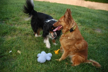 Goldie (right) was taught to sit, around other dogs to ensure that her tail wasn't high and flagged.