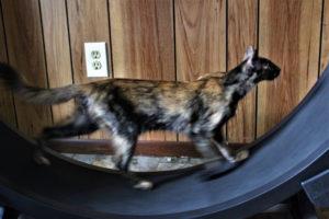 cat training wheel