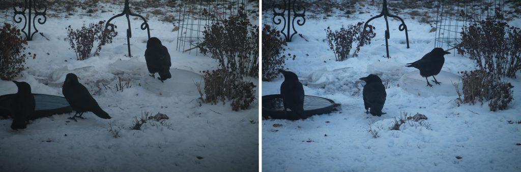 Crows sliding on ice