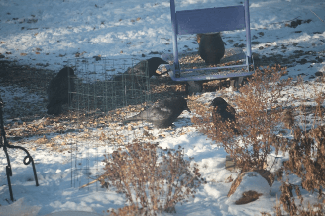 Crow putting their foot on the cart