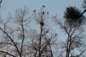 Corvid visitors recalled to my yard