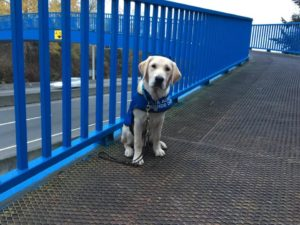 Yellow service dog on a bridge