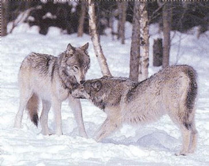 Lobos demostrando posturas clásicas de dominancia/subordinación