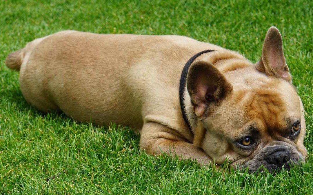 Using Cannabis and Cannabidiol (CBD Oil) in Dog Training and Behavior Work