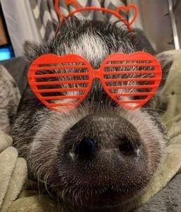pig wearing sunglasses