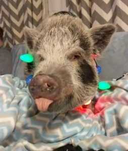 pig sticking out his tongue