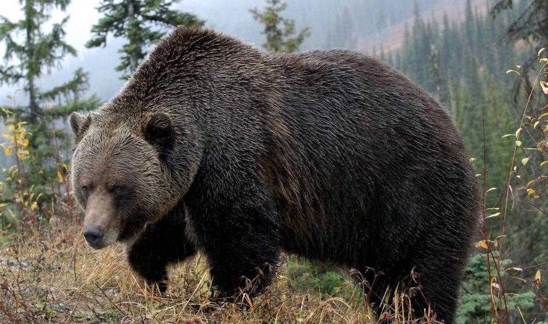 Boo! Training a Bear: 2018