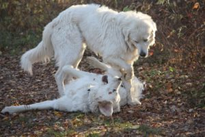 A large white livestock guardian dog stands over another large white LGD lying on its back