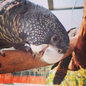 Forest Red Tailed Black Cockatoo at Kaarakin. Credit: Kaarakin