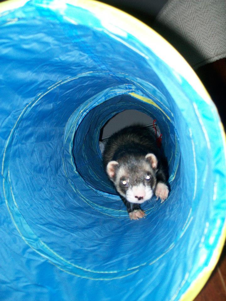Ferret tunnel