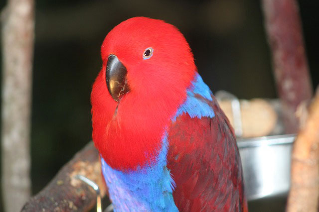 Counter-Conditioning a Parrot: Kokoda's Video Diary