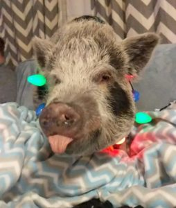 Tabitha the pig and family
