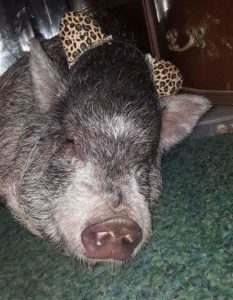Tabitha the pig relaxed