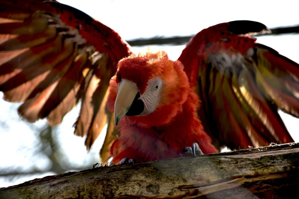 Scarlet macaw perching on a branch with wings spread