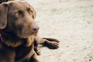 animal-dog-pet-brown-medium