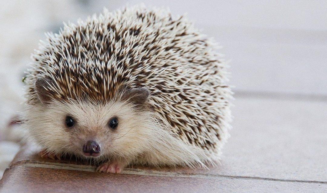 The Welfare of Pet Hedgehogs