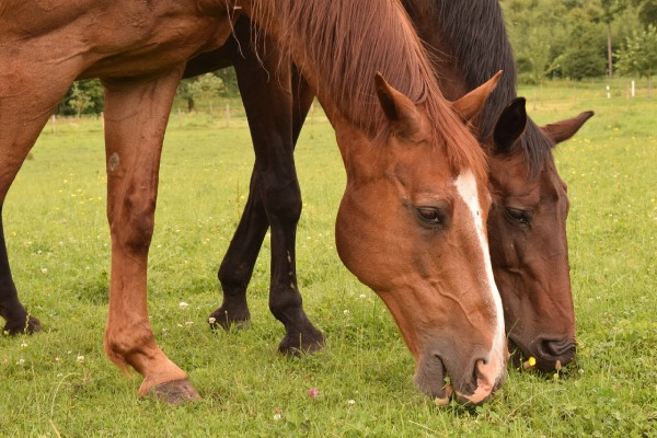 Nicholls - Two horses grazing together