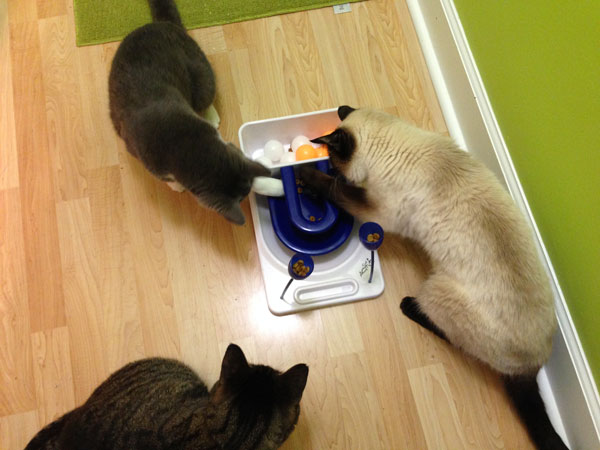 Feline Foraging Toys: How to Implement, Motivate, and Stage the Difficulty Level