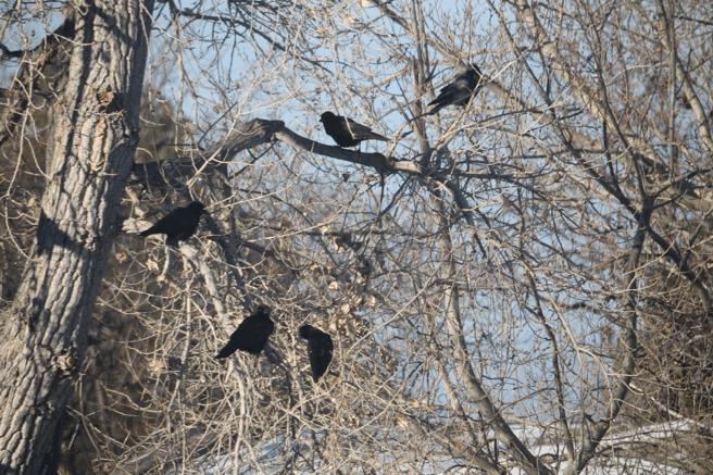 Calling All Crows: A Dog Behaviorist's Observations of Corvid Behavior, Part 1
