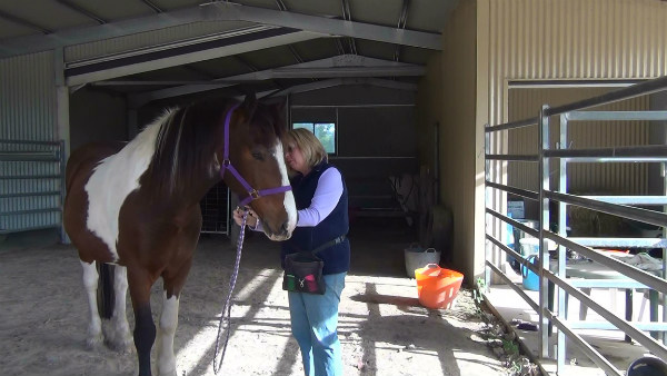 Attaching the rope to Magnum's halter