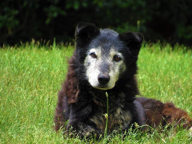 Literature Review: Canine Cognitive Dysfunction