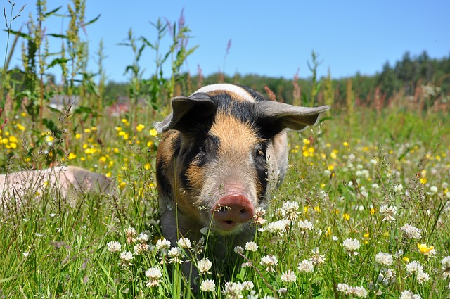 Thinking About Adding Swine Training and Behavior To Your Training Business?