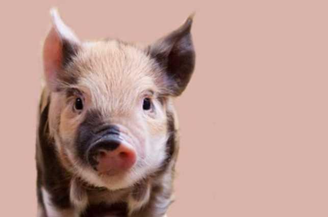 Pig behavior in videos on social media: Cute, but concerning