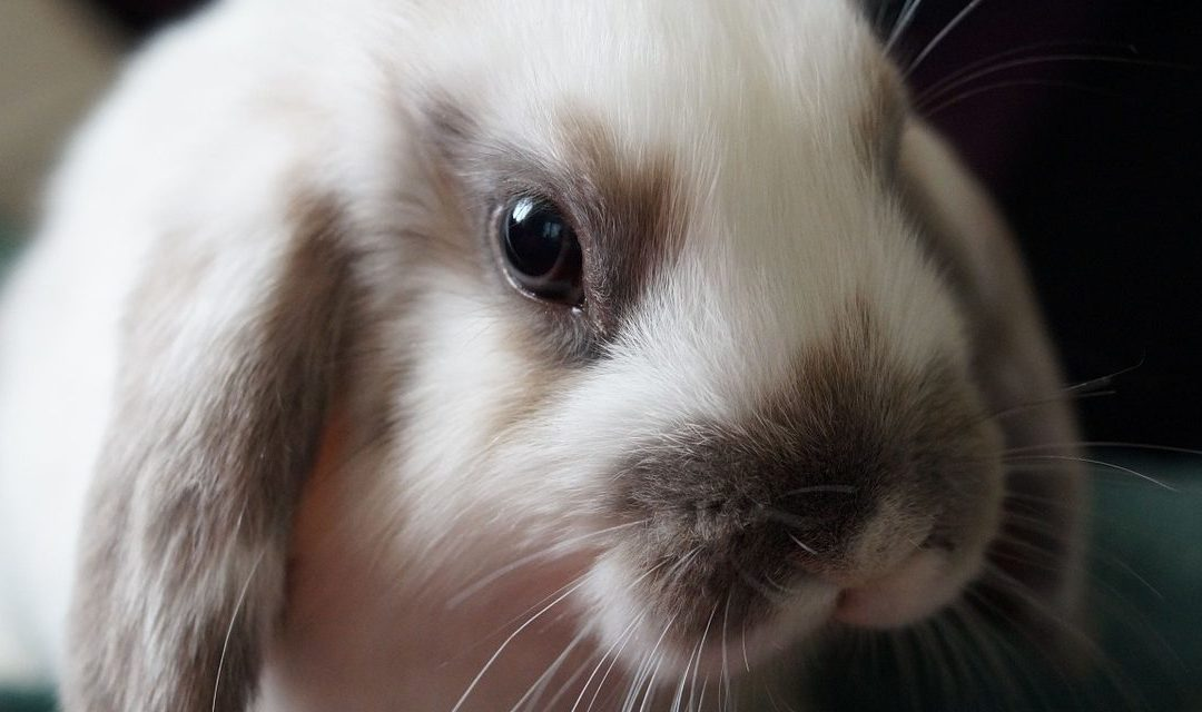 Setting Everybunny Up for Success! Helping Rabbits Succeed in Their Adoptive Homes, Part 1: At the Shelter