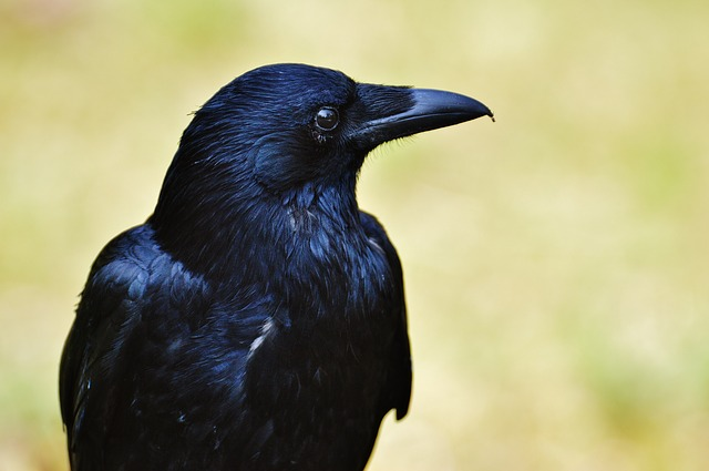 Calling All Crows Part 2: Social Learning and Novel Objects