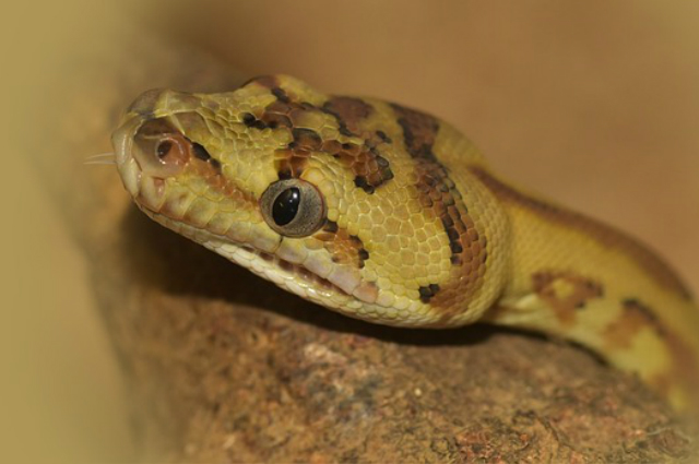 Training Snakes to Voluntarily Relocate