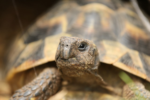 Tort Reform: On Training a Tortoise in Nose Work