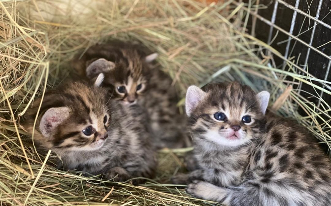 Enrichment at Home and in the Wild: Comparing Enrichment in Black-Footed Cats and Domestic Cats
