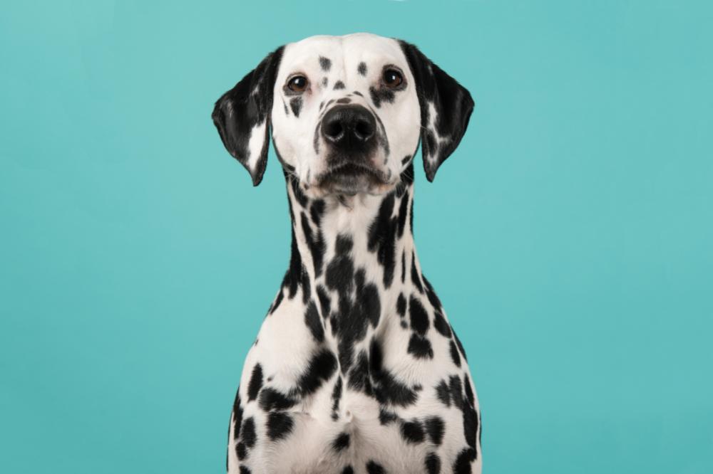 Deaf dogs: A Unique Communication