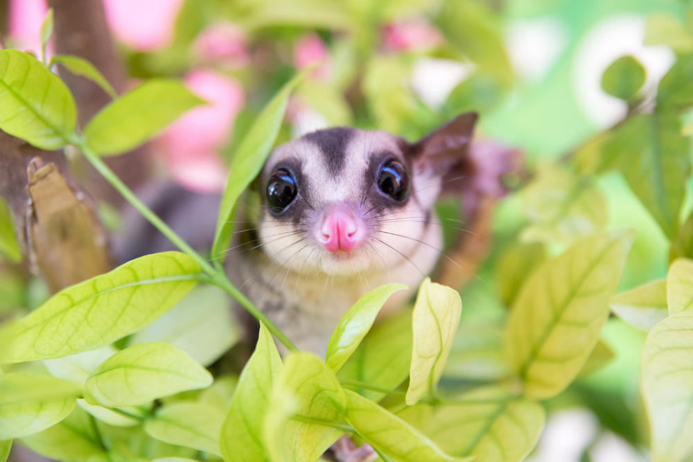 When Cute Is Not Enough: What Behavior Consultants Should Know About Exotic Animal Pets