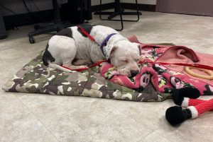 A white pit bull type dog sleeps on a blanket on a concrete floor. A red and black stuffed toy is on the blanket in the foreground