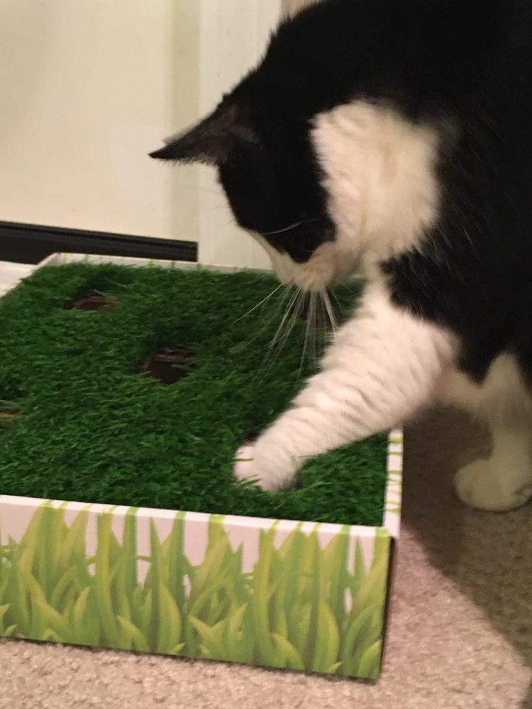 A black and white cat reaching down with left paw into a box of growing grass