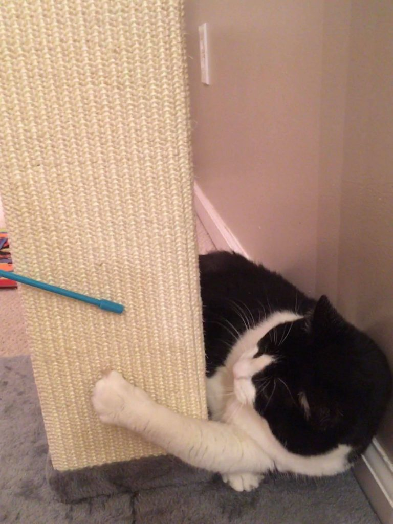 A black and white cat with one paw on a vertical scratching post, following a blue wand toy held by aa human off-camera